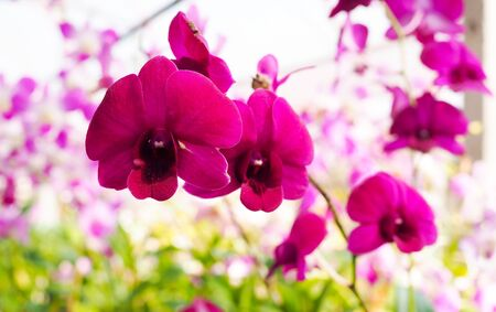 Purple, Pink Phalaenopsis or Moth dendrobium Orchid flower. Most Beautiful spring tree in garden.