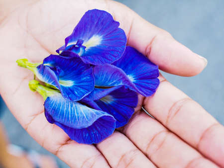 Butterfly pea flowers, bright colors. botanical flower medicinal and herbal.