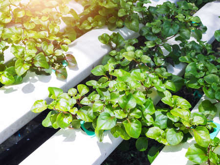 hydroponic farming with organic vegetable to healthy clean food.