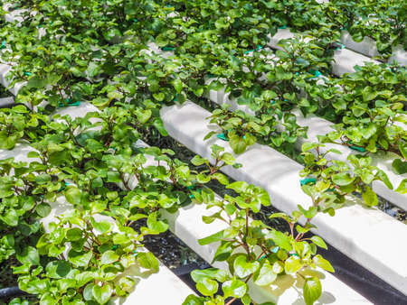 organic vegetable hydroponic farming to salad clean food Stock Photo