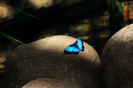 Orsis blue winged butterfly highlighted on boulder Stock Photo
