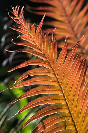impenetrable: warm light on red fern leaves Stock Photo
