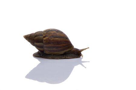 Close up snail on white background Stock Photo