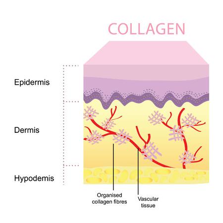 beauty skin: Collagen skin Illustration