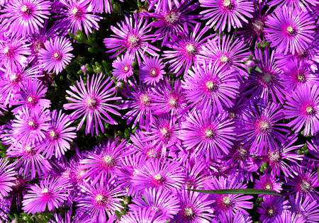 A bed of purple aster flowers glistens in the sun.