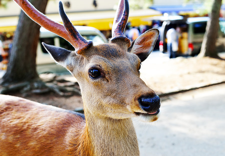 A shika deer sticking its tongue out in Nara, Japan