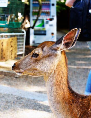 A shika deer fawn in Nara, Japan