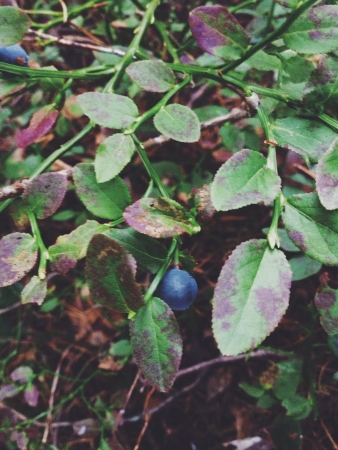 bilberry: Bilberry on the bush