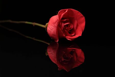 A single red rose and reflection on black background