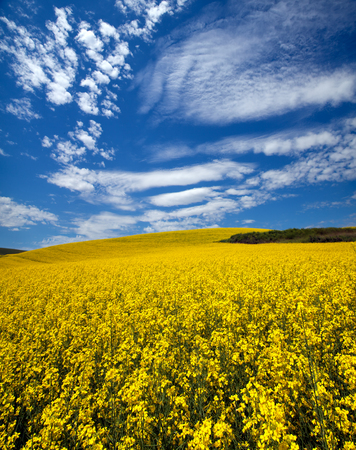 Canola field in Palouse, WA