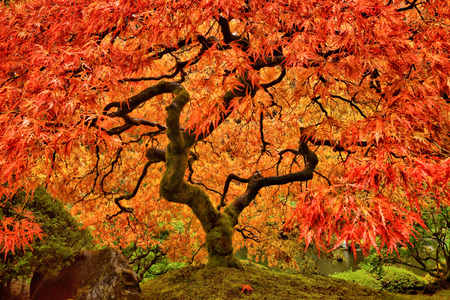 Japanese Maple Tree in Autumn with vivid colors in Portland Garden