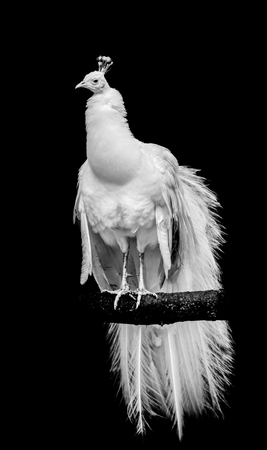 A white leucistic peacock perched on a branch with isolated black background