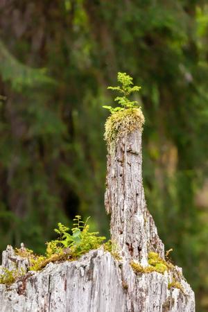 Gebrochener toter Baum, der aussieht, als würde Mutter Natur dir den Vogel umdrehen