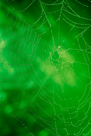 Spider web with water droplets on a green background