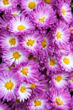 Stacy Pink Garden Mum Chrysanthemum in bloom with yellow centers and white with pink petals Stock Photo