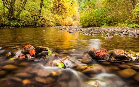 Autumn leaves in South Fork Silver Creek stuck to the rocks and golden color reflecting on the water, Oregon, USA