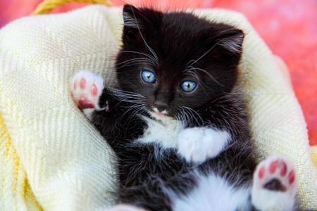 Sweet black and white kitten laying in a blanket looking cute and cuddly