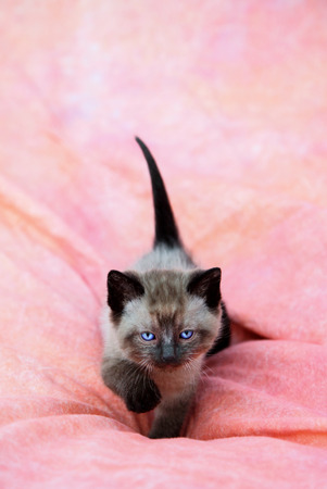 Sweet siamese kitten walking on a pink background with tail up and looking intent Stock Photo