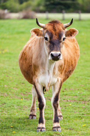 Healthy young Brown Swiss bull in a pasture 写真素材