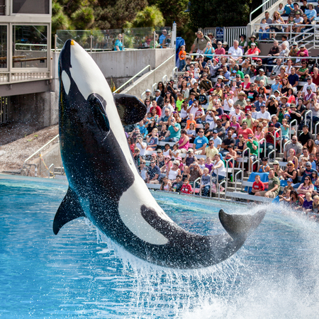 Killer Whale Orca jumping from the water at Sea World as the crowd watches