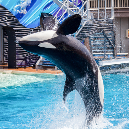 Killer Whale Orca jumping from the water at Sea World