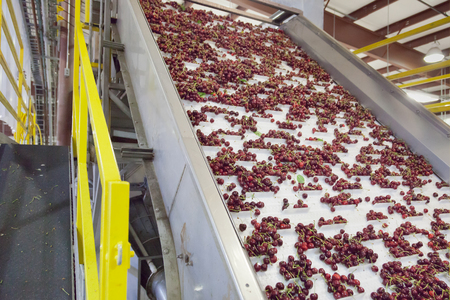 Cherries moving up an elevator in a fruit packing warehouse in Washington state