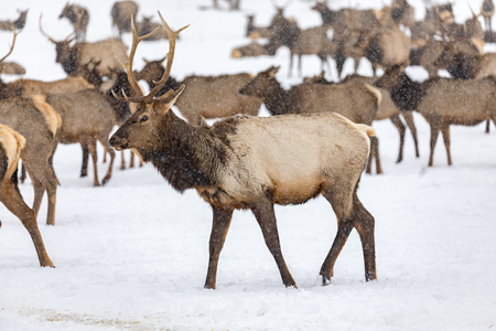 Elk gathering to feed at the Oak Creek Wildlife Area Feeding Station in Naches, WA