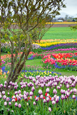 Tulips blooming in a garden in Mount Vernon, Washington during the Skagit Valley festival