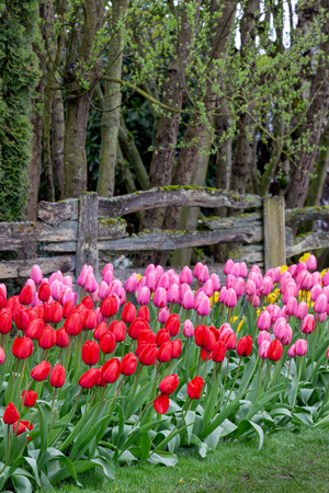 Tulips blooming in a garden by the fence of a forest in Mount Vernon, Washington during the Skagit Valley festival
