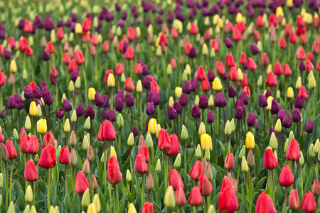 Tulips blooming in a field in Mount Vernon, Washington during the Skagit Valley festival