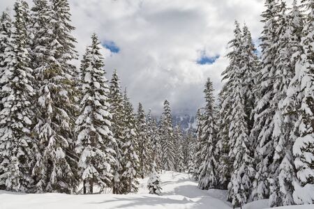 A beautiful forest scene in winter with pine trees heavy with snow in the Cascade Mountains in Washington State