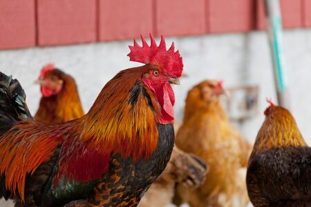 A rooster and chickens.  Free range cock and hens.  Red Bantam. Stock Photo