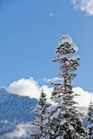 Trees with heavy fresh snow and blue skies in the Cascade Mountains