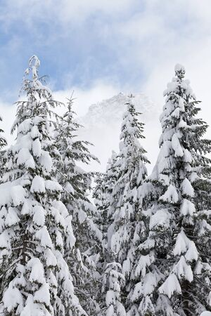 Pine trees with heavy snow and partial blue skies in the Cascade Mountains Stock Photo