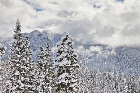 Pine trees with heavy fresh snow and cloudy skies in the Cascade Mountains