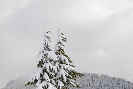 Two trees with heavy snow and a mountain of trees in the background and a cloudy sky