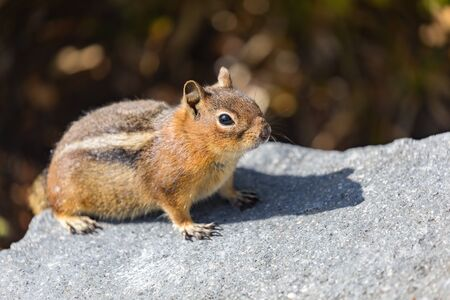 A curious Golden-mantled Ground Squirrel on a rock in Mt. Rainier National Park in Washington state Reklamní fotografie