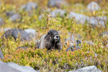 A hoary marmot in a meadow in Mount Rainier National Park in Washington state