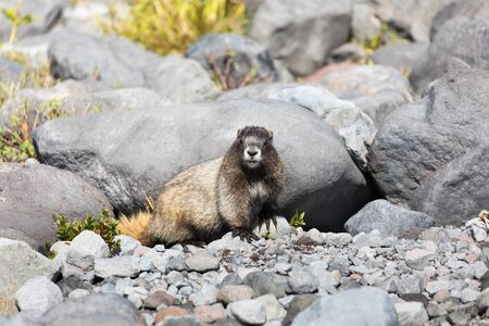 A hoary marmot sitting in front on its den in Mt Rainier National Park in Washington state staring at the camera
