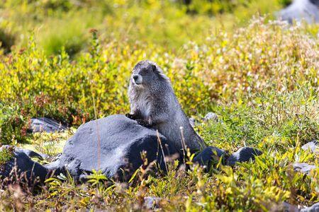 A hoary marmot in a meadow in Mt Rainier National Park in Washington state Reklamní fotografie