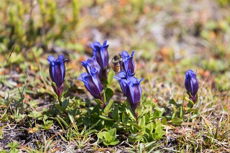 A group of Mountain Bog Gentian flowers with a honeybee pollenizing them in Mt. Rainier National Park in Washington state