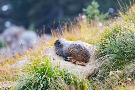 A marmot resting on a rock surrounded by long grass at Paradise in Mt. Rainier National Park in Washington state Reklamní fotografie