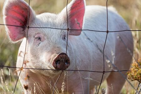Pink pig looking through wire fence on a farm in Oregon, USA