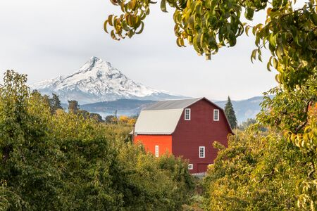 View of a red barn and orchard with Mt Hood in the background in Hood River, Oregon, USA