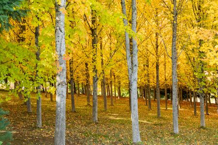 A Sugar Maple Tree Farm forest in autumn with brilliant yellow leaves in Oregon, USA Reklamní fotografie