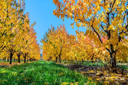 A pear orchard with autumn leaves glowing yellow in the sun on a blue sky day Reklamní fotografie