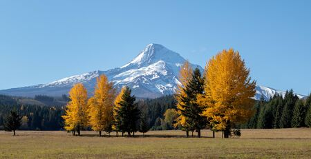 Mt Hood with bright yellow trees in the foreground in the fall in Oregon, USA