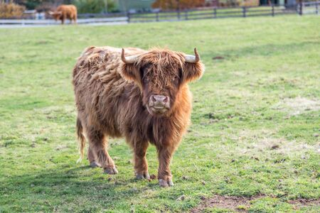 Highland Scottish Cattle in a green pasture looking at the camera Reklamní fotografie