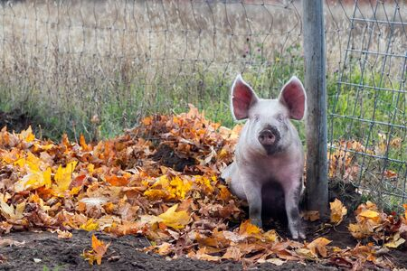 A muddy pink pig with erect ears sitting in mud and dirt and autumn leaves
