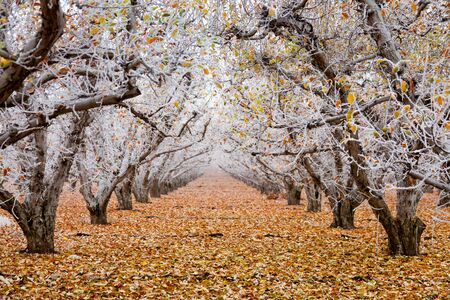 Golden Delicious apple orchard with hoarfrost on the branches and autumn leaves in winter